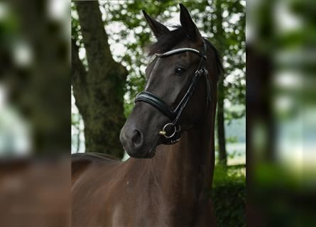 KWPN, Mare, 3 years, 16.1 hh, Black