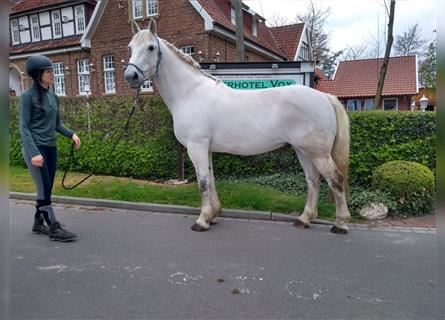 Other Warmbloods, Gelding, 10 years, 16.3 hh, Gray