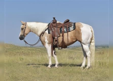 Paint Horse, Mare, 7 years, 14 hh, Pinto