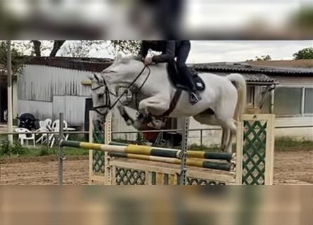 Oldenburg, Mare, 11 years, 17 hh, Gray-Blue-Tan