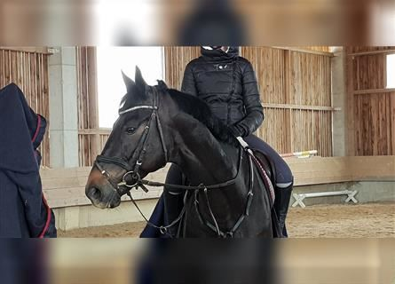 Russian Saddle Horse, Gelding, 11 years, 16.1 hh, Smoky-Black