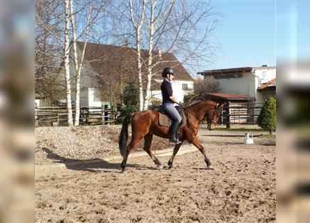 Andalusian Mix, Gelding, 4 years, 15.1 hh, Brown