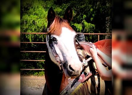 Paint Horse Mix, Mare, 12 years, 14 hh, Bay