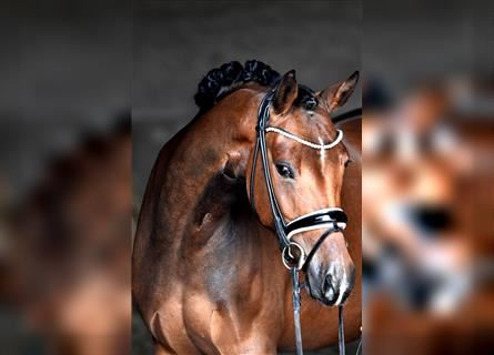 German Riding Pony, Mare, 4 years, 14.1 hh, Brown