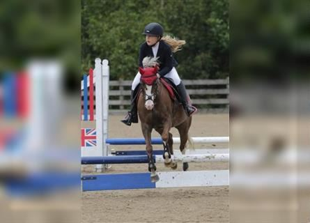 Welsh A (Mountain Pony), Mare, 8 years, 12.1 hh, Chestnut-Red
