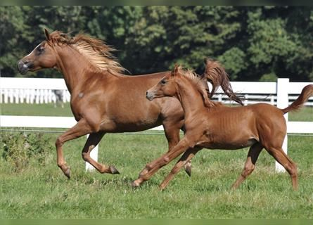 Arabian horses, Mare, 15 years, 15 hh, Chestnut-Red