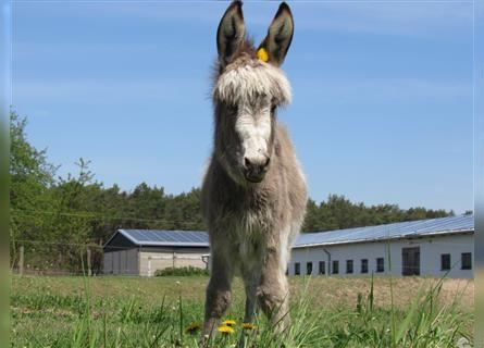 Donkey, Mare, Foal (02/2021), 9.2 hh, Pinto