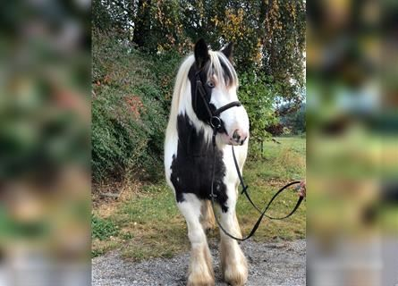 Gypsy Horse, Mare, 11 years, 14.2 hh, Pinto