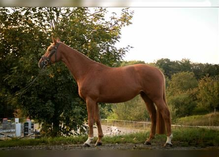 German Sport Horse, Mare, 6 years, 16.2 hh, Chestnut-Red