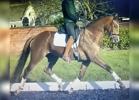 KWPN, Mare, 4 years, 16.2 hh, Chestnut
