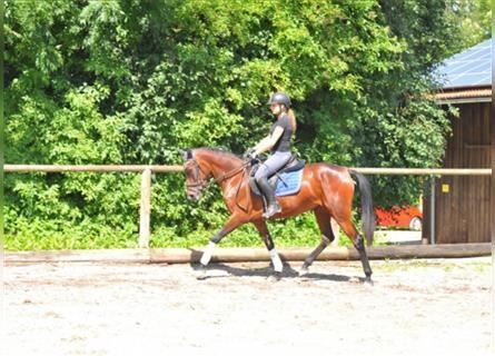 Andalusian, Mare, 3 years, 15.1 hh, Brown