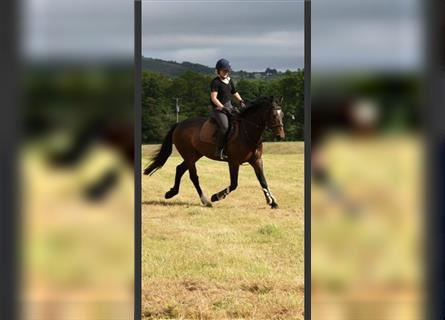 More ponies/small horses, Gelding, 4 years, 14.1 hh, Brown