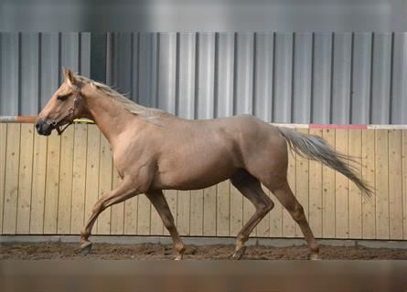 Other Breeds, Gelding, 4 years, 14.1 hh, Palomino