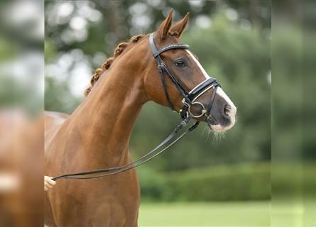 German Riding Pony, Mare, 4 years, 14.1 hh, Chestnut