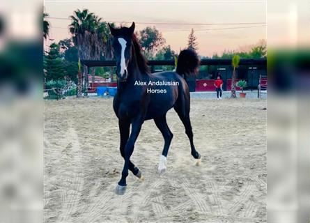 Andalusier, Wallach, 2 Jahre, 160 cm, Rappe