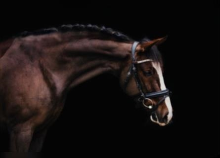German Riding Pony, Mare, 6 years, Chestnut