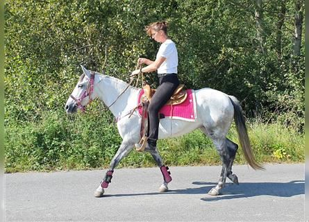 Other Breeds, Mare, 6 years, 14.2 hh, Gray-Dapple