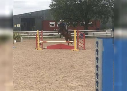 More ponies/small horses, Mare, 4 years, 14.2 hh, Brown