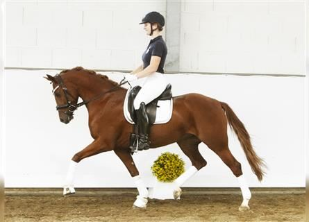 German Riding Pony, Mare, 5 years, 13.3 hh, Chestnut-Red