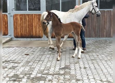 Hanoverian, Mare, Foal (04/2021), Can be white