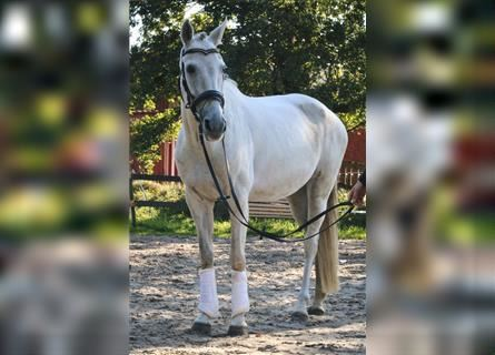 Andalusian, Mare, 8 years, 15.2 hh, Gray