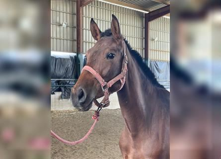 Andalusian, Mare, 2 years, 14.1 hh, Brown