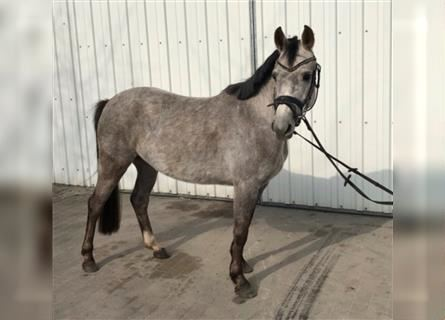 Other Breeds, Mare, 4 years, 13 hh, Gray-Dapple