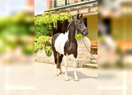 Pintos, Gelding, 6 years, 16.2 hh, Overo-all-colors