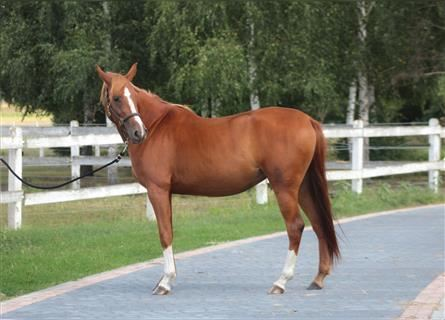 Arabian horses, Mare, 3 years, 15.1 hh, Chestnut-Red