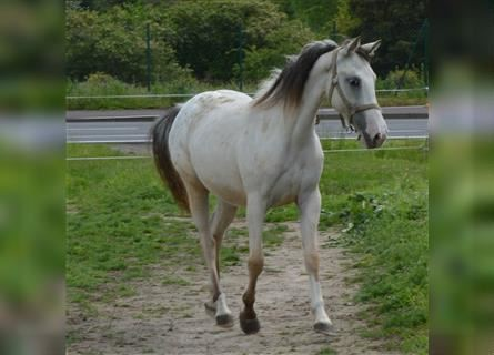 German Riding Horse, Mare, 2 years, 14.2 hh, Leopard-Piebald