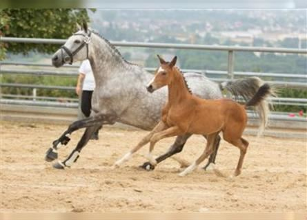Trakehner, Mare, 1 year, Can be white