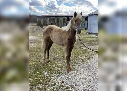 Rocky Mountain Horse, Mare, 1 year, 13 hh, Brown