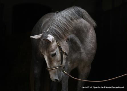 Andalusian, Mare, 2 years, 14.3 hh, Gray