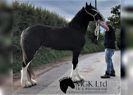 Shire Horse, Mare, 2 years