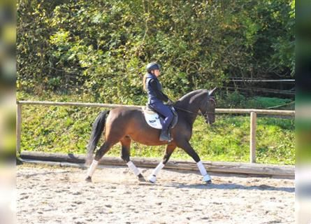 Andalusian, Gelding, 10 years, 16 hh, Brown