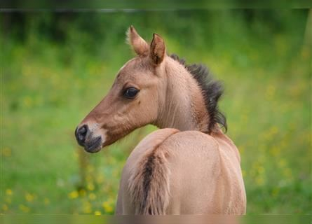 French riding pony, Mare, Foal (01/2021), 14.1 hh, Palomino