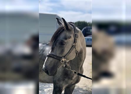 More ponies/small horses, Gelding, 4 years, 15.1 hh, Gray-Dapple