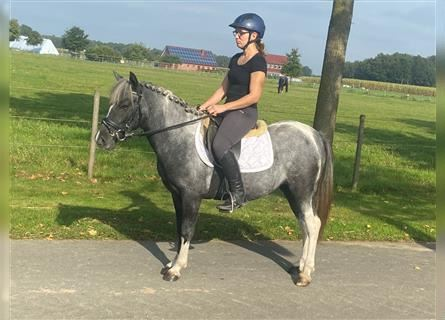 Welsh A (Mountain Pony) Mix, Mare, 4 years, 12.1 hh, Pinto