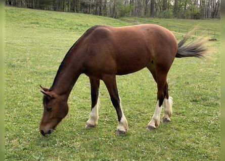 Freiberger, Mare, 2 years, 15.1 hh, Brown