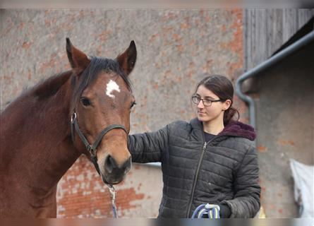 German Riding Horse Mix, Mare, 1 year, 15 hh, Pinto