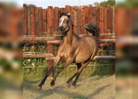 Straight Egyptian, Mare, 2 years