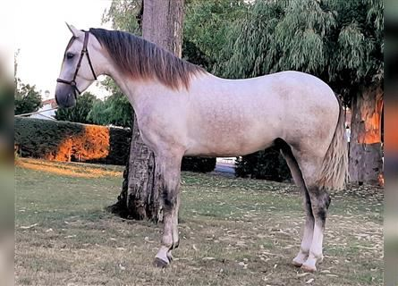 Andalusian, Stallion, 4 years, 15.2 hh, Gray