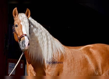 Andalusier, Hengst, 5 Jahre, 157 cm, Palomino
