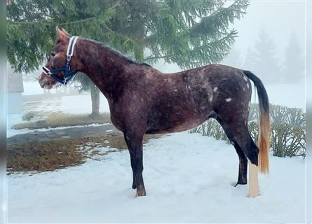 Other Warmbloods, Gelding, 3 years, 15.1 hh, Gray