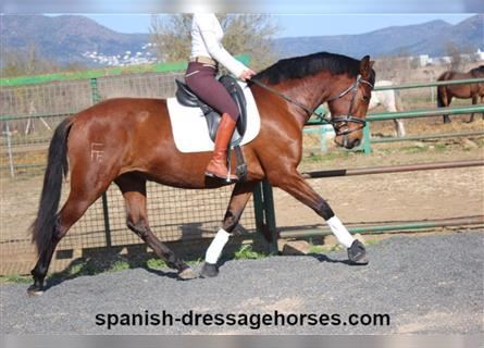 Andalusian, Mare, 7 years, 16 hh, Brown