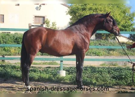 Andalusian, Stallion, 4 years, 15.3 hh, Brown