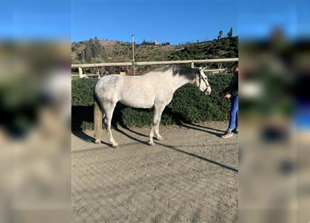 Andalusian, Mare, 11 years, 15.2 hh, Gray
