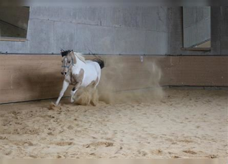 Paint Horse, Hengst, 6 Jahre, 150 cm, Tobiano-alle-Farben