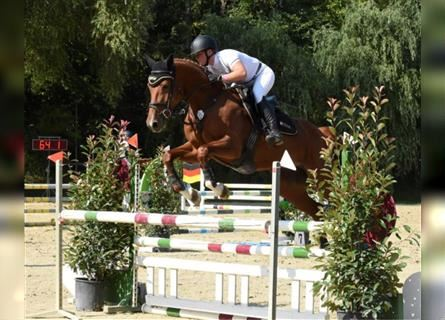 KWPN, Mare, 5 years, 16.2 hh, Chestnut-Red