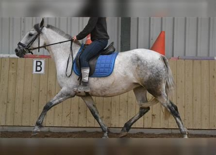 More ponies/small horses, Mare, 10 years, 15.1 hh, Gray